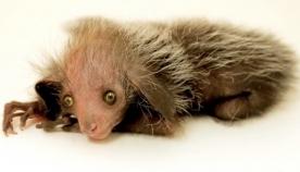 დენვერის ზოოპარკში უიშვიათესი ცხოველი დაიბადა (+ვიდეო)