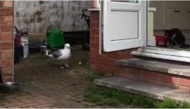 თავხედმა თოლიამ ორ შინაურ კატას გვერდი აუარა და მათი საკვები შეჭამა (+ვიდეო)
