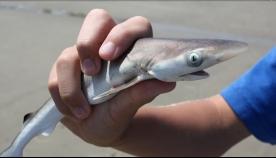 ტურისტები ზვიგენთან ფოტოსესიის გამო ჯარიმას გადაიხდიან (+ვიდეო)