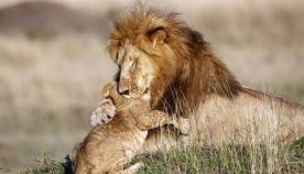 """მამა-შვილი ლომების ემოციური ჩახუტება: ისე როგორც """"მეფე ლომის"""" ცნობილ სცენაში"""