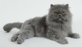 ცისფერი კატები