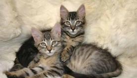 რა ასაკში ხდება კნუტი ზრდასრული კატა?