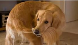 თუ ძაღლი თავის კუდს დასდევს, ეს შესაძლოა, ფსიქიკური აშლილობის პრობლემა იყოს