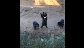 ზრდილობიანი დათვები ტურისტებს თათის აწევით ესალმებიან (სახალისო ვიდეო)