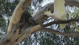 გაბრაზებული თუთიყუში თავის ხეს კოალასგან იცავს (სახალისო ვიდეო)