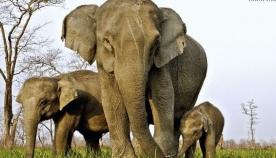 """აფრიკულ სპილოებს ეშვები აღარ ეზრდებათ: დედაბუნება ბრაკონიერების წინააღმდეგ თავისი """"იარაღით"""" იბრძვის"""
