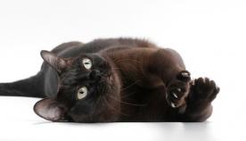 შოკოლადისფერი კატები