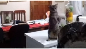 კატა პატრონს ჭურჭლის რეცხვას ასწავლის (სახალისო ვიდეო)