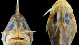 ყველაზე შხამიან თევზს დედამიწაზე ახალი იარაღი აღმოაჩნდა – ბასრი პირი თვალს ქვემოთ