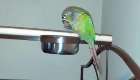 თუთიყუში ყვიროდა