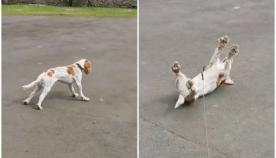 ძაღლი გონებას კარგავს ყოველ ჯერზე, როდესაც იხვებს ხედავს (სახალისო ვიდეო)