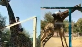 ყაზახეთის ზოოპარკში მთვრალი დამთვალიერებელი ჟირაფის სამყოფელში გადაძვრა და ცხოველის ზურგზე აცოცდა (+ვიდეო)