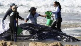 ავსტრალიელებმა სანაპიროზე გამორიყული ვეშაპი გადაარჩინეს (+ფოტო და ვიდეო)