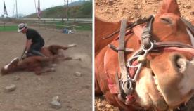 ცხენს იმდენად არ უნდოდა მუშაობა, რომ პატრონის დანახვისას თავი მოიმკვდარუნა (სახალისო ვიდეო)