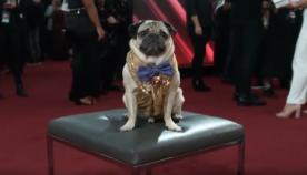 აშშ-ში საუკეთესო ძაღლის ტიტული მოპსის გადასცეს