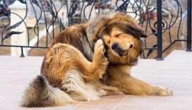 თუ ძაღლი იფხანს ან ფხაჭნის...