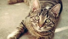 სიმართლეა თუ არა, რომ კატა გულგრილი და ეგოისტი ცხოველია?