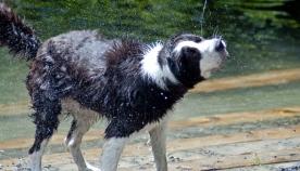 რატომ აქვს სველ ძაღლს უფრო მძაფრი სუნი?