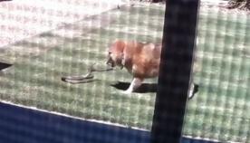 მამაცი ძაღლი ეზოში შეპარულ შხამიან გველს წინააღმდეგობას უწევს (ემოციური ვიდეო)