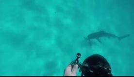 ზვიგენმა ვიდეოკამერით შეირაღებულ მყვინთავზე მიიტანა იერიში (+ვიდეო)