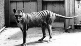 გადაშენებული ტასმანიური მგლის, 1933 წელს გადაღებული, უკანასკნელი კადრები (უნიკალური ვიდეო)