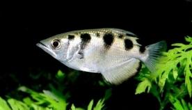სიკვდილის ნაკადი: შხეფია თევზი, რომელსაც თავისი მსხვერპლის დაზიანება წყლის 5-მეტრიანი ნაკადით შეუძლია (+ვიდეო)
