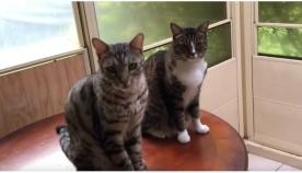 რომელი კატაა დამნაშავე? ერთმა მათგანმა მეგობარი გასცა (სახალისო ვიდეო)