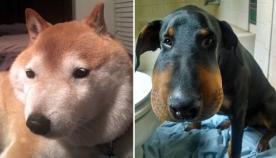 ძაღლები, რომლებიც ფუტკრებმა დაკბინეს (+ვიდეო)