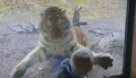 ვეფხვმა შუშის ბარიერიდან დამთვალიერებელზე თავდასხმა სცადა (+ვიდეო)