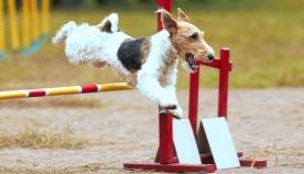 აჯილითი - ძაღლების შეჯიბრება სიმარჯვეში