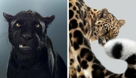 ბრიტანელი ფოტოგრაფი ერთი წლის განმავლობაში დიდი კატების პორტრეტებს იღებდა