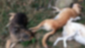 თბილისში რამდენიმე მიკედლებული ძაღლი მოკლეს
