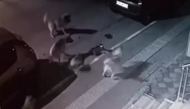 კატა ძაღლების ხროვას მარტო გაუმკლავდა (სახალისო ვიდეო)