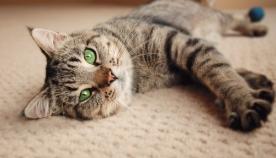 3 მნიშვნელოვანი მიზეზი, თუ რატომ კრუტუნებს კატა