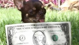 მსოფლიოში ყველაზე პატარა ძაღლის 49 კლონი შექმნეს (+ვიდეო)