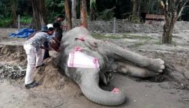 ინდოეთში ცნობილი სპილო, სახელად