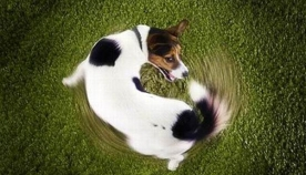 გავეცნოთ ძაღლისთვის დამახასიათებელ განსაკუთრებულ ქცევას - კუდის დევნას