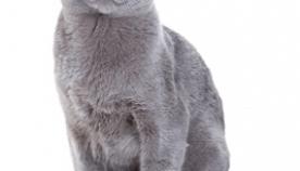 რუსული კატა