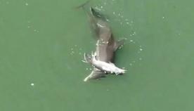 დელფინი ვერ ეგუება შვილის სიკვდილს (ემოციური ვიდეო)