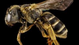 ფუტკრები: დედამიწის ბინადარი ყველაზე მნიშვნელოვანი ქმნილებები