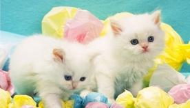 რატომ არ უყვარს კატას ტკბილეული?