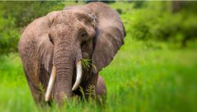 აფრიკული სპილოები 20 წლის შემდეგ სრულიად გადაშენდებიან, თუ შესაბამისი ორგანიზაციები სასწრაფოდ ზომებს არ მიიღებენ