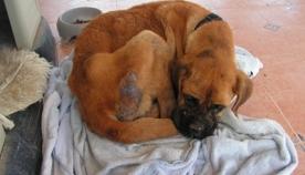 ლეიშმანიოზი - ძაღლების საშიში დაავადება