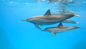 დედალი დელფინები თავის შვილებს მუცელში ელაპარაკებიან