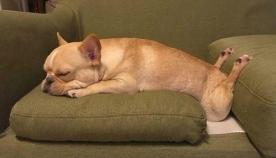 ძაღლები, რომლებსაც სასაცილო პოზებში სძინავთ (სახალისო ფოტოები)