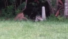 დედა ენოტი შვილებს ფოცხვერისგან იცავს (ემოციური ვიდეო)