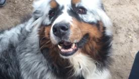ვიტილიგო ძაღლებსაც ემართებათ: 12 საოცარი მაგალითი