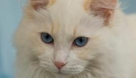 კრემისფერი კატა
