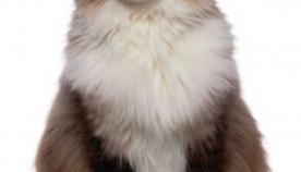 რეგდოლის ჯიშის კატა
