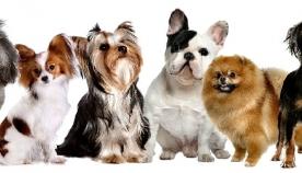 კომპანიონი ძაღლები